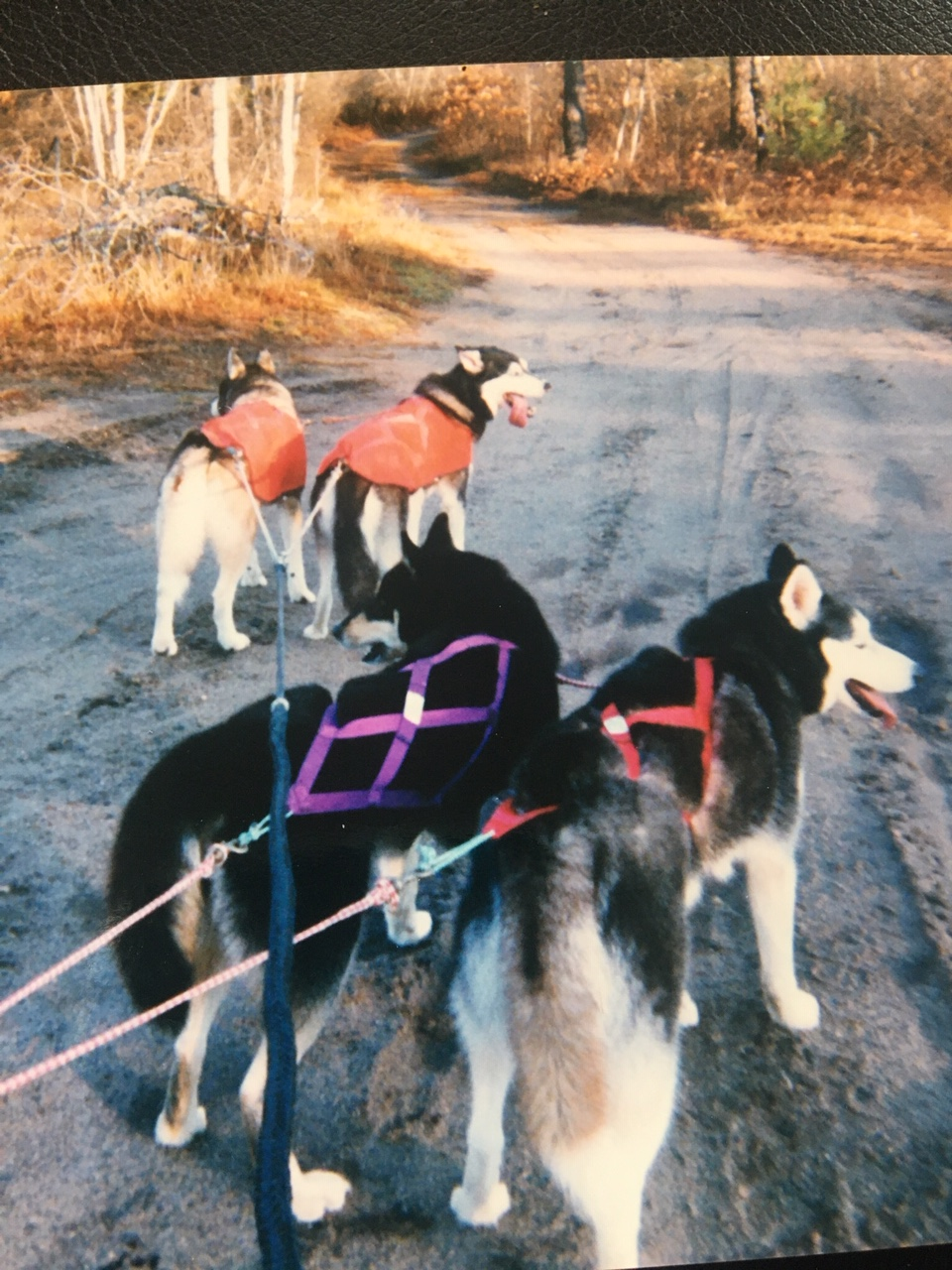 Tua & Alta, preparing for a run with Tobin & Leika in Maine